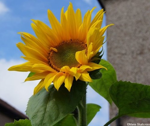 Sun is shining in the sky, #sunflowers are blooming in the garden - have a great #BankHolidayMonday peeps! #Sunisshininginthesky #gardening #Mondaymotivation #gardeningisgoodforthesoul #gardeningisfun