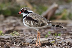 Black-fronted Dotterel (Elseyornis melanops) (johnedmond) Tags: perth lakemonger westernaustralia wildlife nature bird canon ef100400mmf4556lisiiusm eos7d dotterel wader