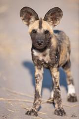 Puppy Eyes (Glatz Nature Photography) Tags: africa botswana glatznaturephotography khwaicamp nature nikond850 wildanimal wildlife lycaonpictus wilddog paintedwolf africanwilddog puppy babyanimals okavangodelta dog eyecontact