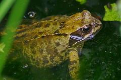 1590-09L (Lozarithm) Tags: oldforge ponds toadsfrogs amphibians macro k50 zoom sigma 70300 sigmaaf70300mmf456apodgmacro blip justpentax