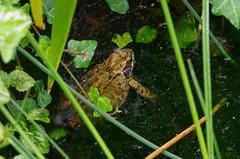 1590-07L (Lozarithm) Tags: oldforge ponds toadsfrogs amphibians macro pentax prime k5 100f28 dfamacro100mmf28wr justpentax