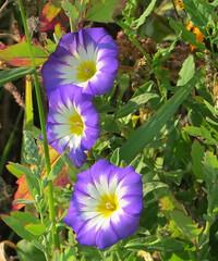 Bienenblüten am Weg (thobern1) Tags: bienenblüten enzkreis keltern dietlingen badenwürttemberg germany blumen flowers fleurs fiori