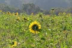 Sonnenblumen am Weg (thobern1) Tags: bienenblüten enzkreis keltern dietlingen badenwürttemberg germany blumen flowers fleurs fiori