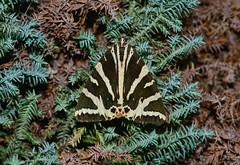 Jersey Tiger --- Euplagia quadripunctaria (creaturesnapper) Tags: lepidoptera moths erebidae insects europe uk jerseytiger euplagiaquadripunctaria tigermoths nationalmothweek arctiinae
