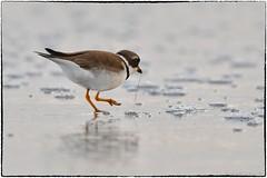 Semipalmated plover (RKop) Tags: raphaelkopanphotography florida treasureisland d500 600mmf4evr