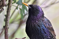 Sharp dressed Starling... (Ian A Photography) Tags: birds birdwatch britishbirds gardenbirds nature nikon portraits starling ukbirds ukwildlife wildlife goldwildlife