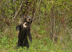 Black Bear cub...#38 (Guy Lichter Photography - 5.1M views Thank you) Tags: canon 5d3 canada manitoba rmnp wildlife animal animals mammal mammals bear bears blackbear cub