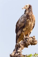 a pretty vulture (Rajiv Lather) Tags: india indian birds vulture birder image nature wildlife avifauna aves threatened critical endangered redheadedvulture photo photography digital juvenile birding birdwatching egyptianvulture neophronpercnopterus scavengers vögel vogelstand pics outside