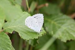 Azuré des nerpruns Celastrina argiolus holly blue (aigledayres) Tags: azurédesnerpruns celastrinaargiolus hollyblue lépidoptères papillons rhopalocères
