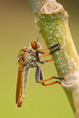 Robber fly (A t i k R a h m a n) Tags: rubber fly insects wildlife