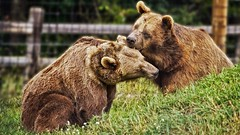 Sparring Grizzlies (Bob's Digital Eye 2) Tags: aug2019 bears bobsdigitaleye2 canon canonefs55250mmf456isstm fauna flicker flickr grizzlybear safarinorth wildlife