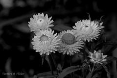 Everlasting daisies b/w (Tatters ✾) Tags: australia flowers bw onblack blackandwhite asteraceae xerochrysumbracteatum xerochrysum monochrome