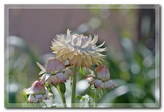 Everlasting daisies. Strawflower. Бессмертник гелихризум (Tatters ✾) Tags: australia flowers asteraceae xerochrysumbracteatum xerochrysum frame ants creamflowers bokeh