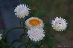 Everlasting daisies. Strawflower. Бессмертник гелихризум (Tatters ✾) Tags: australia flowers asteraceae xerochrysumbracteatum xerochrysum whiteflowers