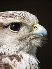 Saker portrait on black (ORIONSM) Tags: saker falcon bird prey raptor portrait black nature animal face beak eyes olympus omdem1 lumix100300mm