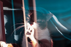 (Shizuuu.) Tags: cat kitten gata tricolor light catpaw paws paw window sunset sunsetlight silviage silviagregorio zaragoza blue whiskers