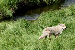 Der Wolf - The Wolf (ivlys) Tags: usa wyoming yellowstone nationalpark wiese meadow bach creek wolf canislupus tier animal landschaft landscape natur nature ivlys