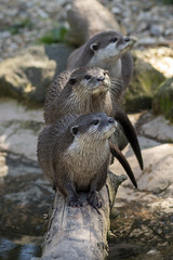 Clawed Otter (RedPlanetClaire) Tags: hoo farm animals wild experience encounter clawed otter
