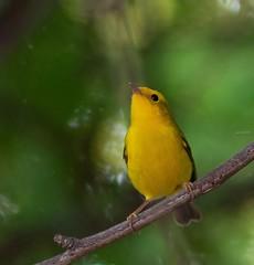 Yellow Warbler 2019-08-26 (aaronwatler) Tags: yellowwarbler pentax k5iis pentaxsmcda200mmf28 arizona