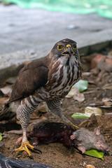 DSC01973 (archiwu945) Tags: 鳳頭蒼鷹 鳥 生態 校園環境