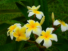 Plumeria after the Rain (Jim Mullhaupt) Tags: plumeria frangipani shrub tree tropical flower bloom white pink yellow plantleis hawaii fragrant exotic dogbane nature landscape background wallpaper outdoor florida nikon coolpix p900 jimmullhaupt photo flickr geographic picture pictures camera snapshot photography nikoncoolpixp900 nikonp900 coolpixp900 rain storm raindrops wet dripping color smell