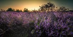 20190821-2021-26 (Don Oppedijk) Tags: laren noordholland sunset hilversum heather westerheide bluk cffaa