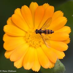 Getingfluga (Hans Olofsson) Tags: 2019 blommor flower garden natur nature skammelstorp trädgård getingfluga ringblomma flies fly insect insekt