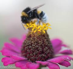 Bumbelbee /Humla (Hans Olofsson) Tags: blommor flower garden natur nature skammelstorp trädgård flies humla bumbelbee