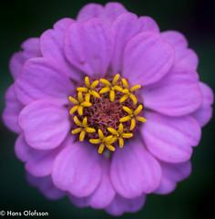 Flower (Hans Olofsson) Tags: blommor flower garden natur nature skammelstorp trädgård