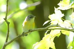 American Redstart (astro/nature guy) Tags: illinoisbird urbanabird bird redstart americanredstart crystallakeparkbird crystallakepark