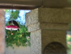 Flicker Freeloader (MPnormaleye) Tags: flicker woodpecker bird feeder garden soft lensbaby seeinanewway yard nature