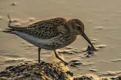 Dunlin (madziulka_a) Tags: poland nikon d850 nikkor 200500mm photography sea nature wildlife bird biegus dunlin