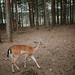 Juvenile deer alone in the forest