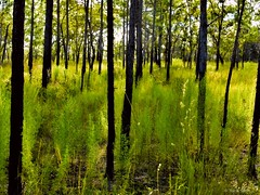 Blacks and Greens (surfcaster9) Tags: pinetrees grass green black florida forest lumixg7 lumix25mmf17asph nature outdoors woods