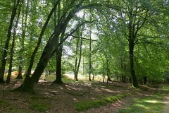 New Forest NP, Hampshire, UK (east med wanderer) Tags: england uk hampshire newforestnationalpark forest trees green nationalpark woodland oak beech