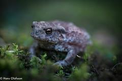 Toad /Padda (Hans Olofsson) Tags: blommor flower garden natur nature skammelstorp trädgård padda toad