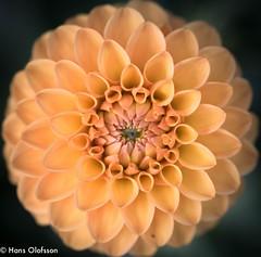 Dahlia (Hans Olofsson) Tags: blommor flower garden natur nature skammelstorp trädgård dalia dahlia