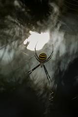 (Eugenio Albertus) Tags: araña spider nature wildlife bokeh sun araignée argiope forest