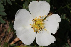Burnet Rose - Rosa spinosissima- Middlebere Dorset-250519 (5) (Ann Collier Wildlife & General Photographer) Tags: whiteflowers white flora flowers flowerstrees florafauna burnetrose rosaspinosissima middlebere dorset dorsetwildflowers