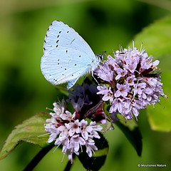 IMG_4341. Holly Blue (Celastrina argiolus) (Nick Ransdale) Tags: hollyblue celastrinaargiolus