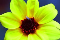 mouche sur fleur . (sydepoorte) Tags: mouche fleur nature nikon nikond7500