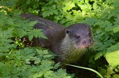 Fischotter - Otter (Kurt Haberl) Tags: fischotter otter nationalpark bayerischer wald national park bavarian forest bavaria bayern niederbayern nethern wild tier animal outdoor natur nature neuschönau