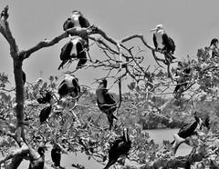 MEXICO, Yukatan, Am Golf von Mexiko,  Isla Aguada -Laguna Terminos, Vogelparadies, Alle Vögel sind schon da.. serie, 19235/11910 (roba66) Tags: roba66 yucatán rundreise 2017 yukatanhalbinsel zentralamerika northamerica nordamerika méjico mécico mexico mexiko insulaire île island insel «isla aguada» «golf von » «laguna terminos» küste beach strand ozean sea meer waterscape water wasser vögel fauna creature animals animal tiere tier isla aguada lagune terminos vogelparadies golf mangroven fregattvogel
