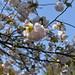 A close view of a sakura (cherry blossom) flower