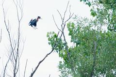 Green Heron (Kelly Colgan Azar) Tags: butoridesvirescens greenheron july morrisroad eastgreenbush newyork 2018