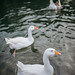White ducks in a lake