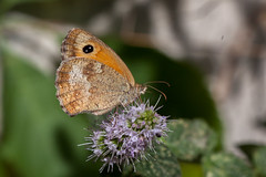 Papillon (clamar18) Tags: mérysurcher butterffly marron insecte papillon france amaryllis