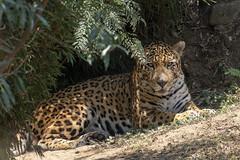 Jaguar - Zoo - Guatemala City (wietsej) Tags: jaguar zoo guatemala city sony rx10 rx10m4 rx10iv animal cat