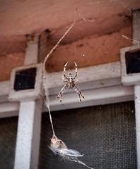 DSCF5153 (maria.luisa.mars) Tags: spider ragno nature natura bug insetto big huge grande scary web ragnatela town città