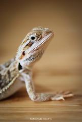 Skippy (ManonLightcrafts) Tags: beardeddragon pogona animal nature pet babyanimal naturephotography animalphotography photography petphotography reptile lizard babylizard